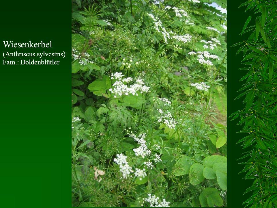 Wiesenkerbel (Anthriscus sylvestris) Fam.: Doldenblütler