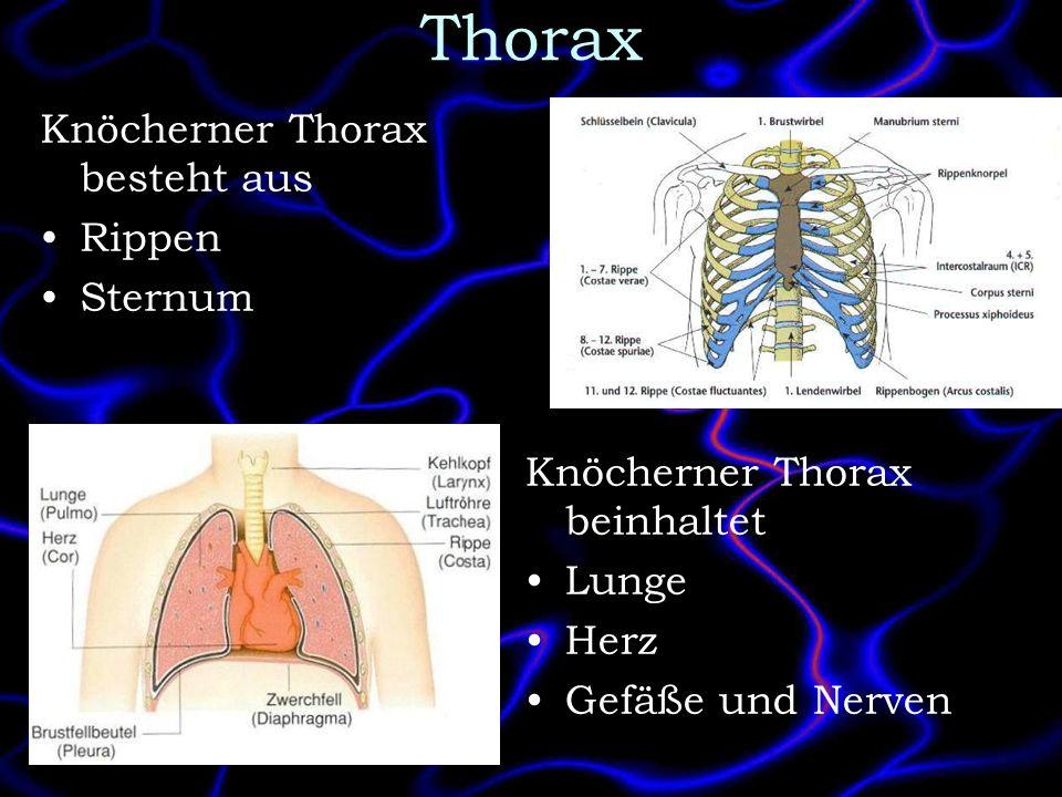 Thorax Knöcherner Thorax besteht aus Rippen Sternum