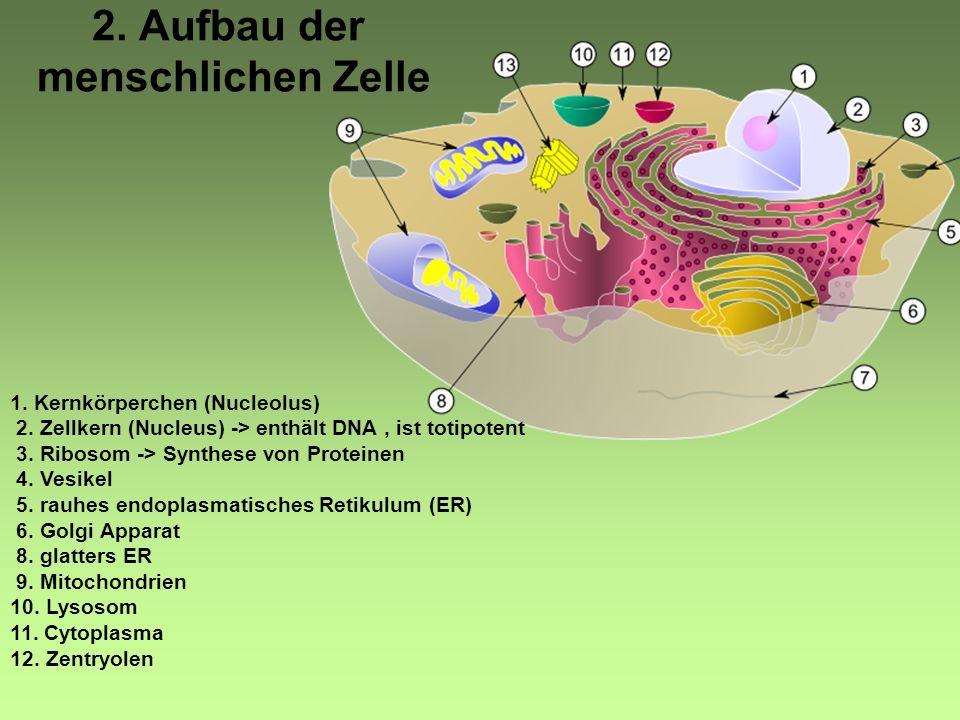 2. Aufbau der menschlichen Zelle