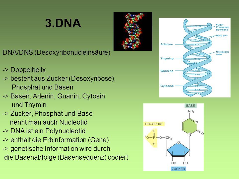 3.DNA DNA/DNS (Desoxyribonucleinsäure) -> Doppelhelix