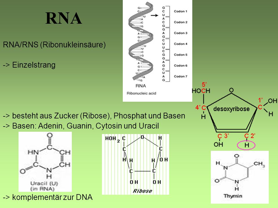 RNA RNA/RNS (Ribonukleinsäure) -> Einzelstrang