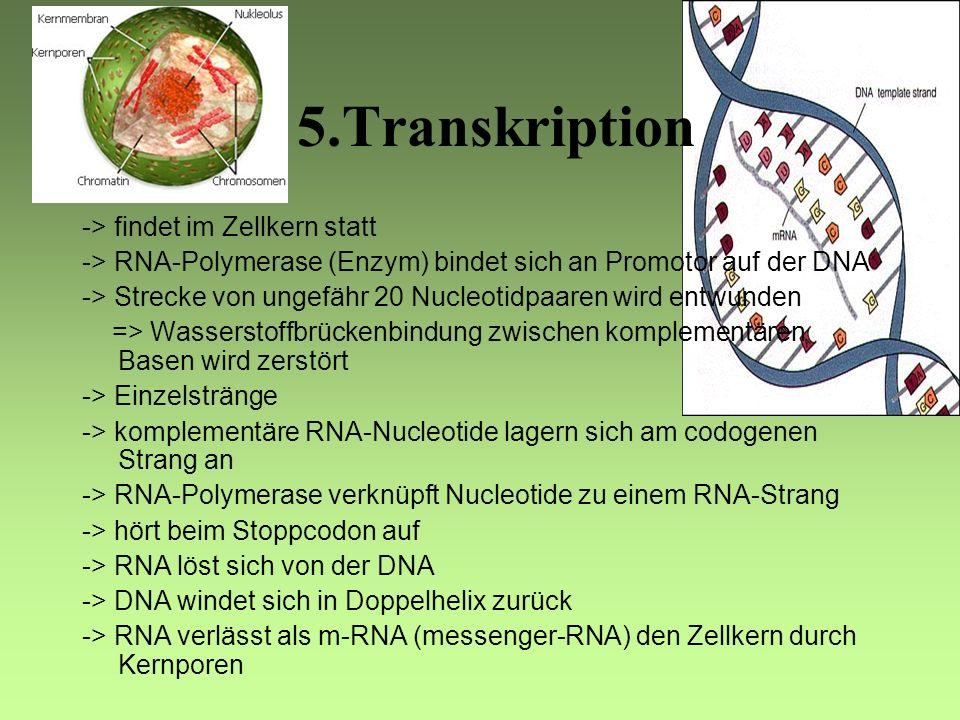 5.Transkription -> findet im Zellkern statt