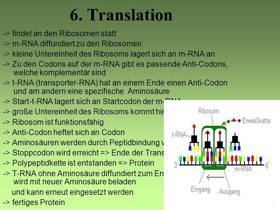 6. Translation -> findet an den Ribosomen statt