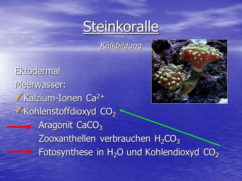 Steinkoralle Ektodermal Meerwasser: Kalzium-Ionen Ca2+