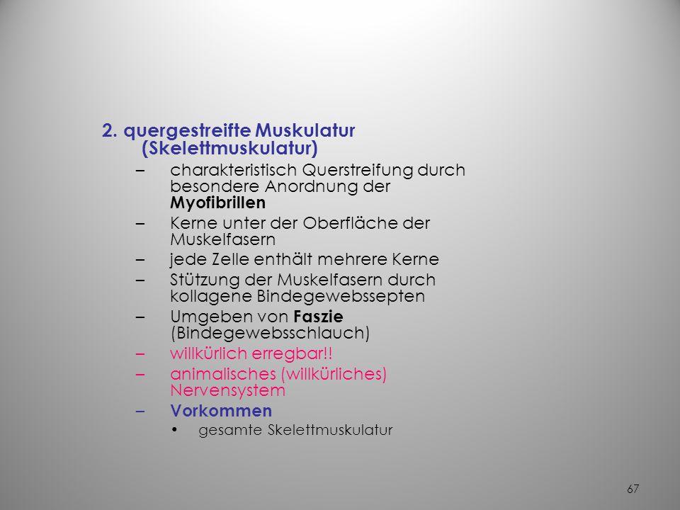 2. quergestreifte Muskulatur (Skelettmuskulatur)