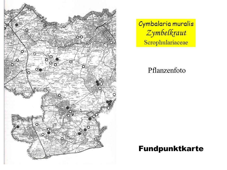 Zymbelkraut Pflanzenfoto Fundpunktkarte Cymbalaria muralis