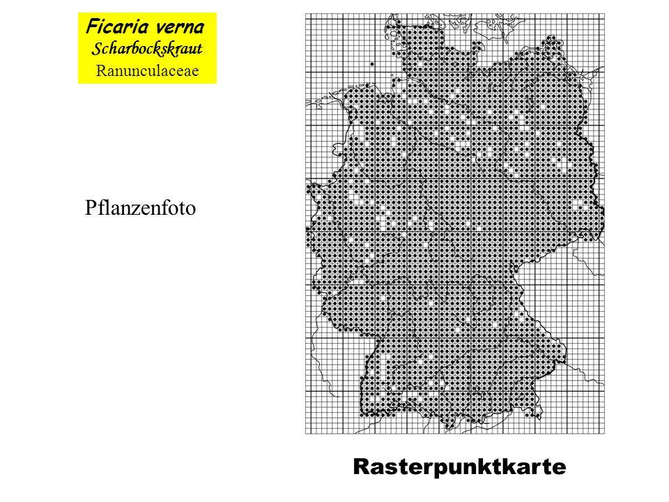 Pflanzenfoto Rasterpunktkarte Ficaria verna Scharbockskraut