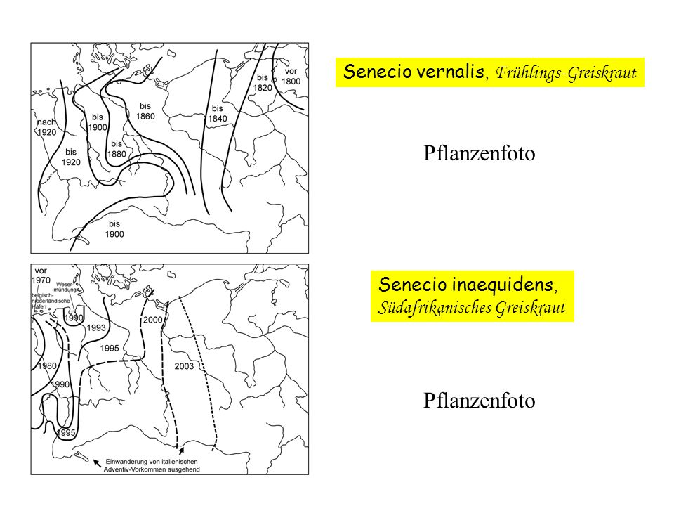 Pflanzenfoto Pflanzenfoto Senecio vernalis, Frühlings-Greiskraut