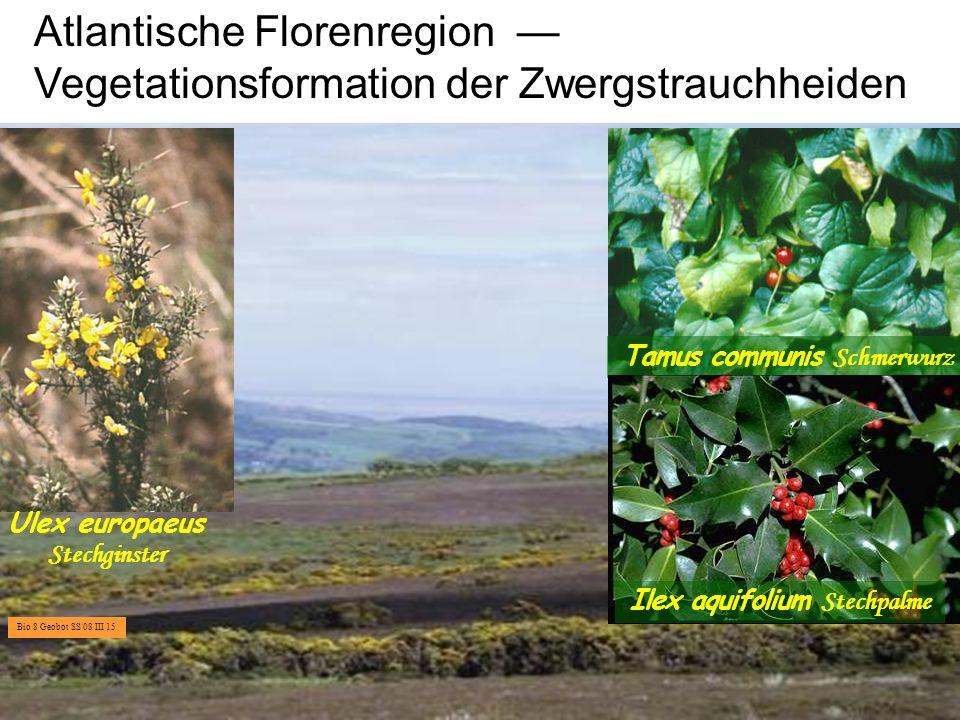 Tamus communis Schmerwurz Ilex aquifolium Stechpalme
