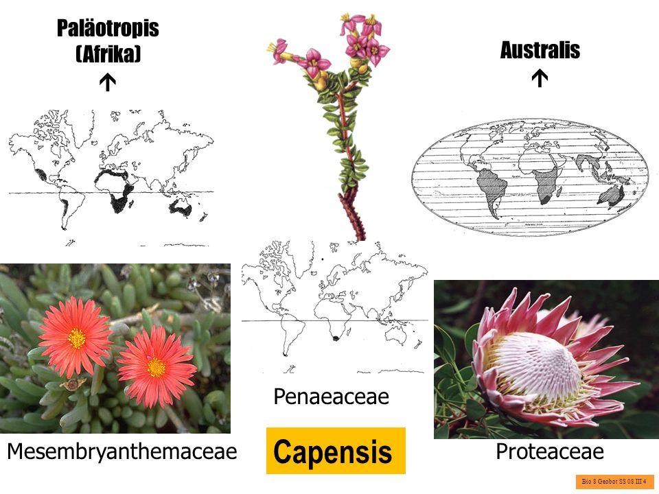 Capensis Paläotropis (Afrika)  Australis  Penaeaceae