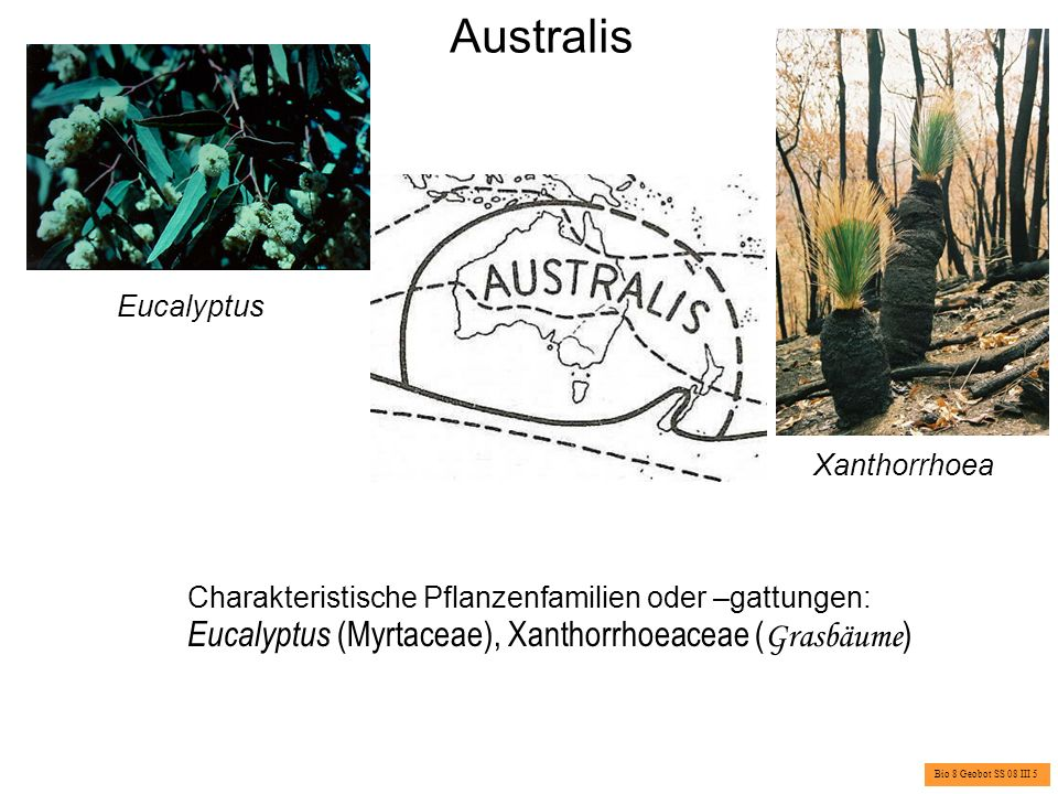 Australis Eucalyptus (Myrtaceae), Xanthorrhoeaceae (Grasbäume)