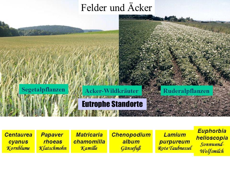 Felder und Äcker Eutrophe Standorte Segetalpflanzen Acker-Wildkräuter
