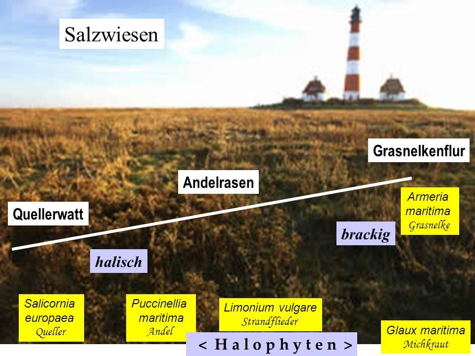 Salzwiesen Grasnelkenflur Andelrasen Quellerwatt brackig halisch