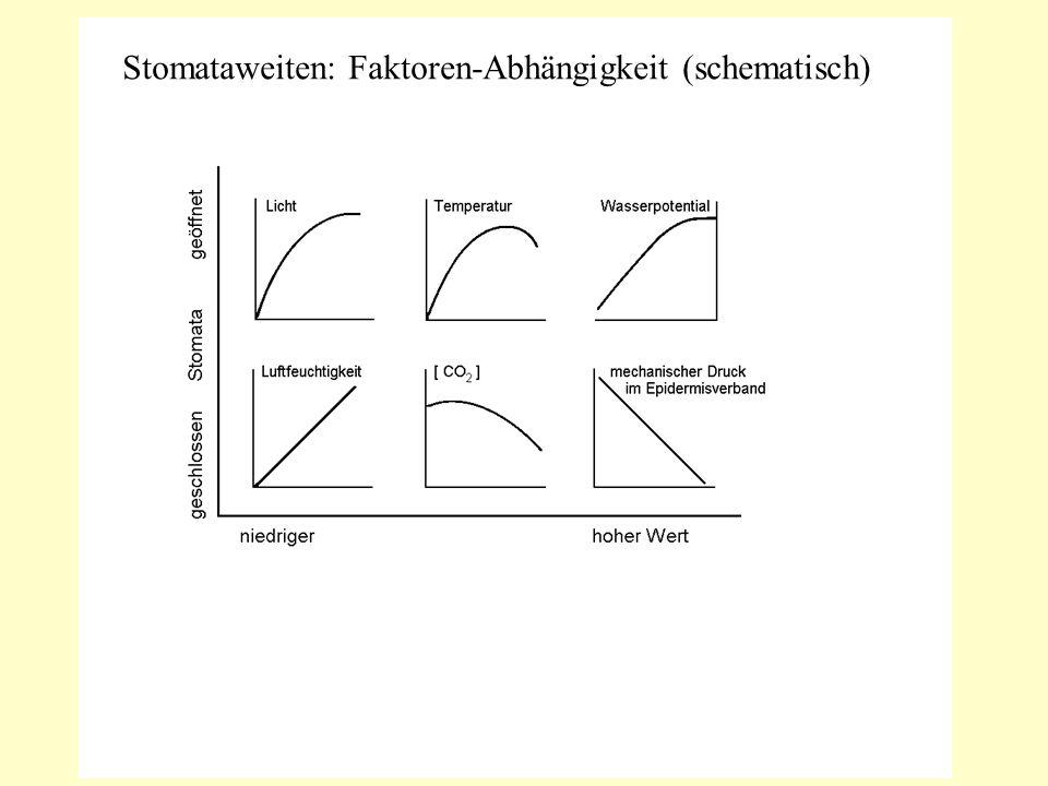 Stomataweiten: Faktoren-Abhängigkeit (schematisch)