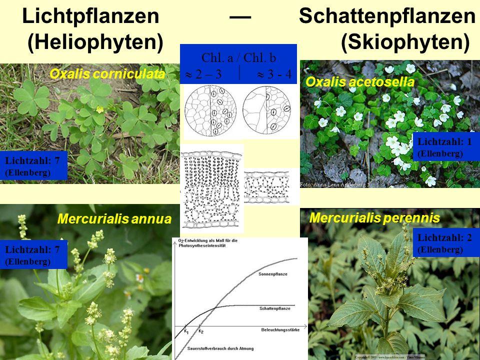 Lichtpflanzen — Schattenpflanzen (Heliophyten) (Skiophyten)