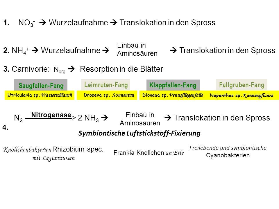 1. NO3-  Wurzelaufnahme  Translokation in den Spross