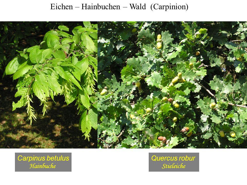 Eichen – Hainbuchen – Wald (Carpinion)