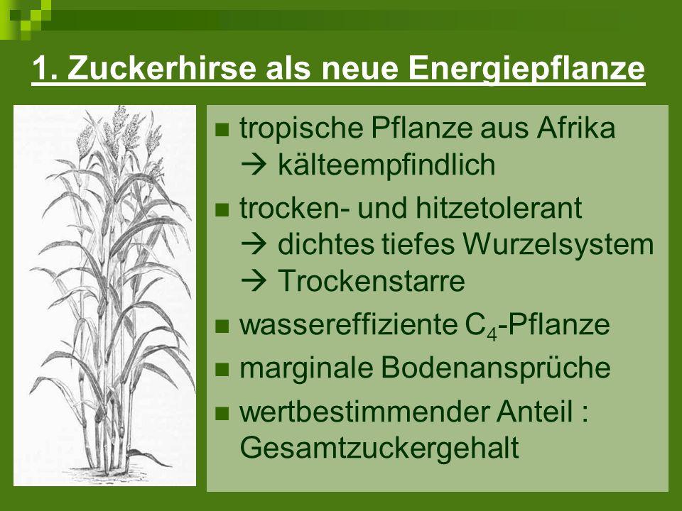 1. Zuckerhirse als neue Energiepflanze