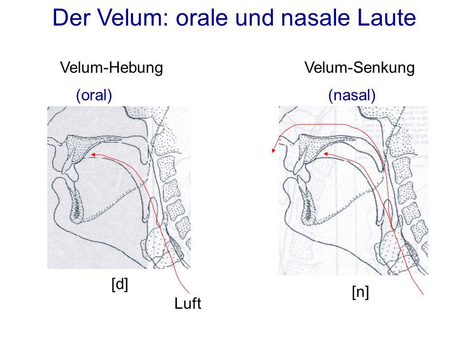 Der Velum: orale und nasale Laute