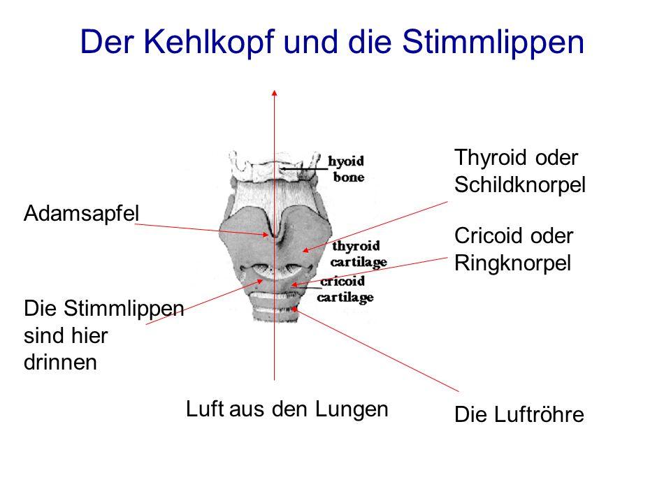 Der Kehlkopf und die Stimmlippen