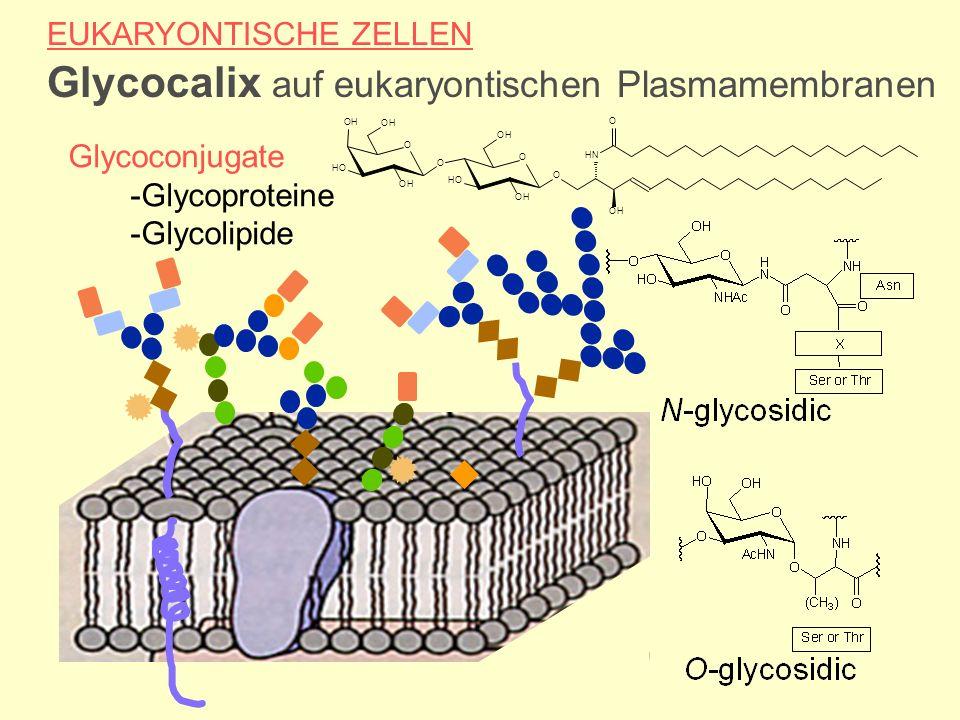 EUKARYONTISCHE ZELLEN Glycocalix auf eukaryontischen Plasmamembranen