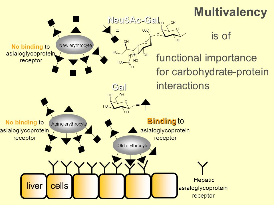 Multivalency is of. functional importance for carbohydrate-protein interactions. Neu5Ac-Gal. New erythrocyte.