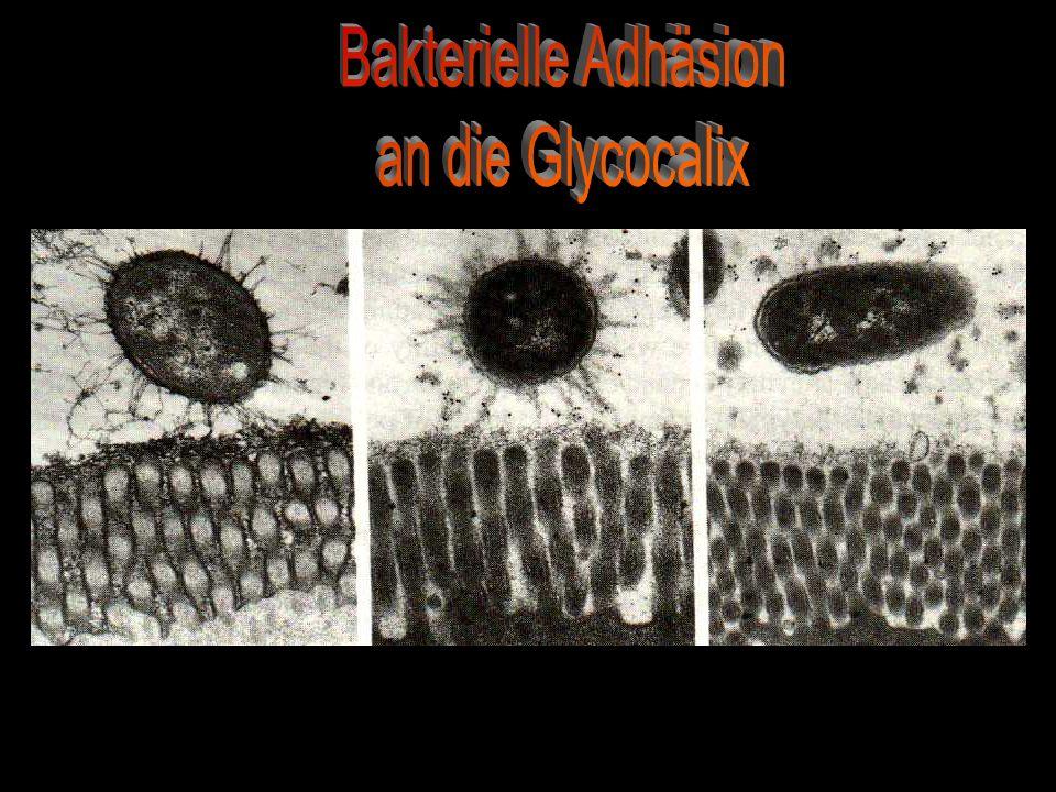 Bakterielle Adhäsion an die Glycocalix