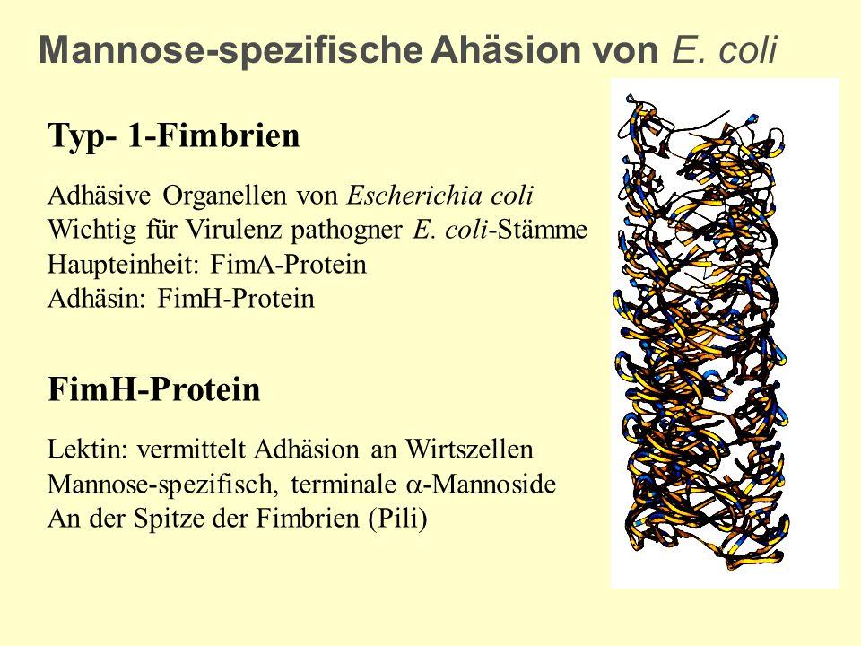 Mannose-spezifische Ahäsion von E. coli