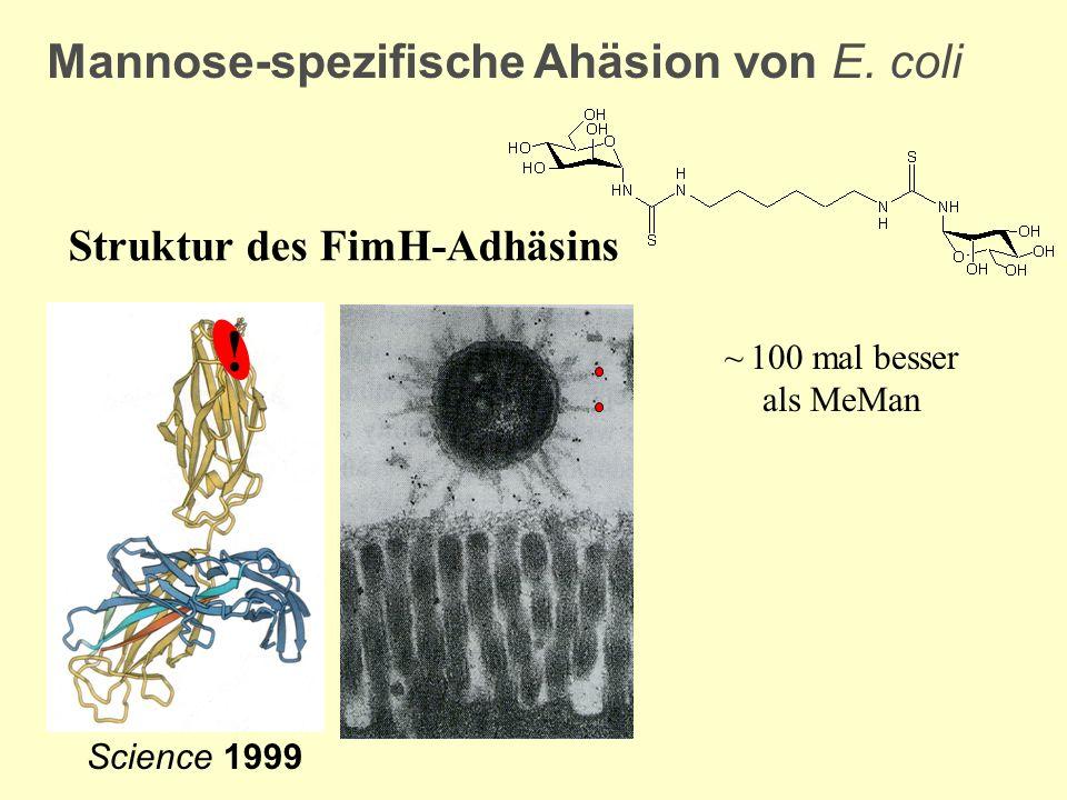! Mannose-spezifische Ahäsion von E. coli Struktur des FimH-Adhäsins