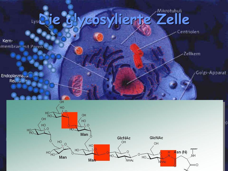 Die glycosylierte Zelle