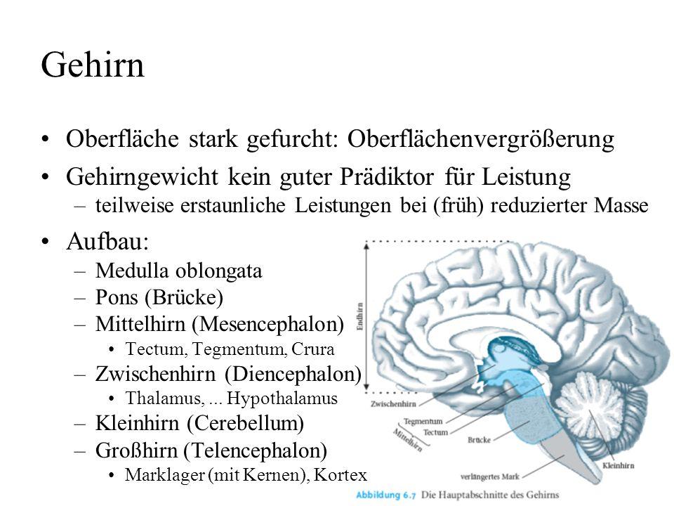 Gehirn Oberfläche stark gefurcht: Oberflächenvergrößerung