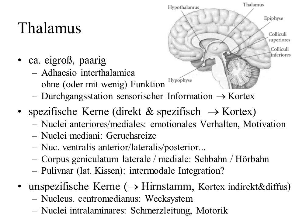 Thalamus ca. eigroß, paarig