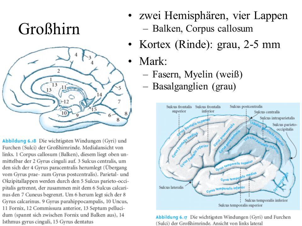 Großhirn zwei Hemisphären, vier Lappen Kortex (Rinde): grau, 2-5 mm