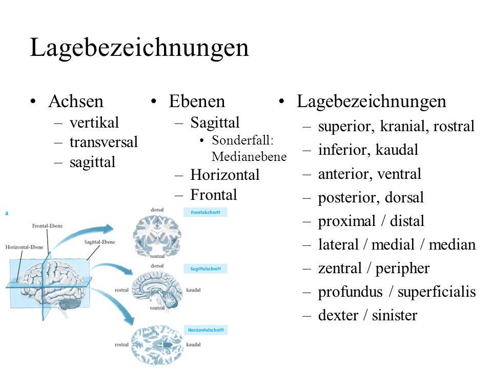 Lagebezeichnungen Achsen Ebenen Lagebezeichnungen vertikal transversal