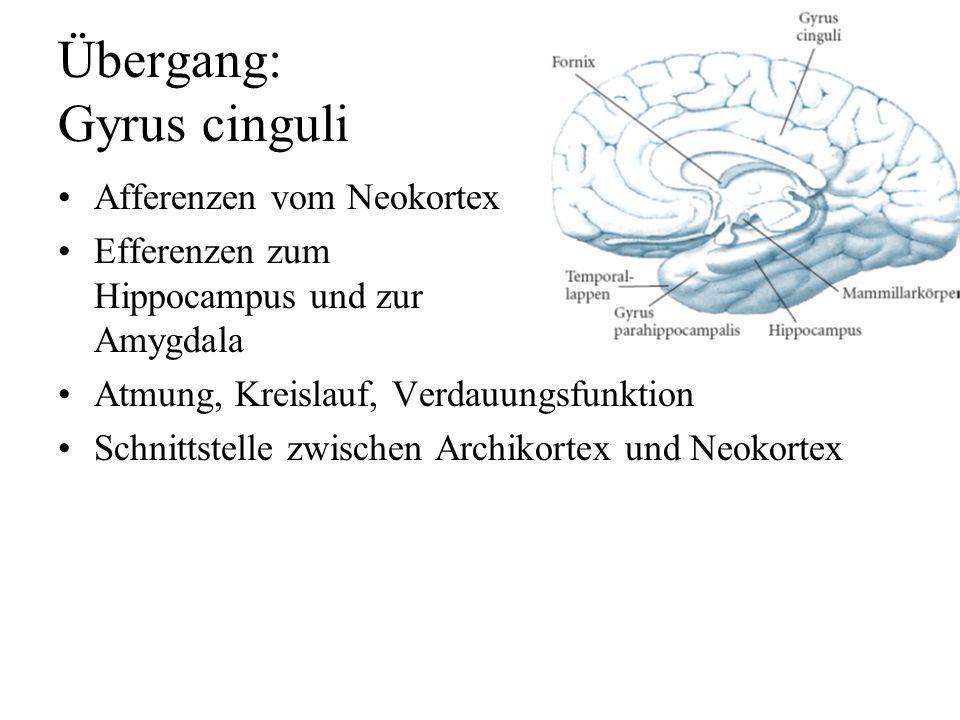 Übergang: Gyrus cinguli
