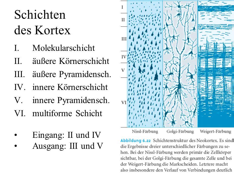 Schichten des Kortex Molekularschicht äußere Körnerschicht