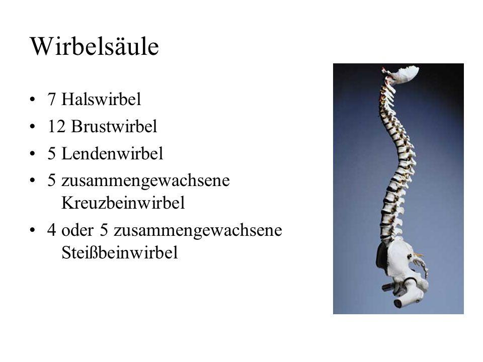 Wirbelsäule 7 Halswirbel 12 Brustwirbel 5 Lendenwirbel