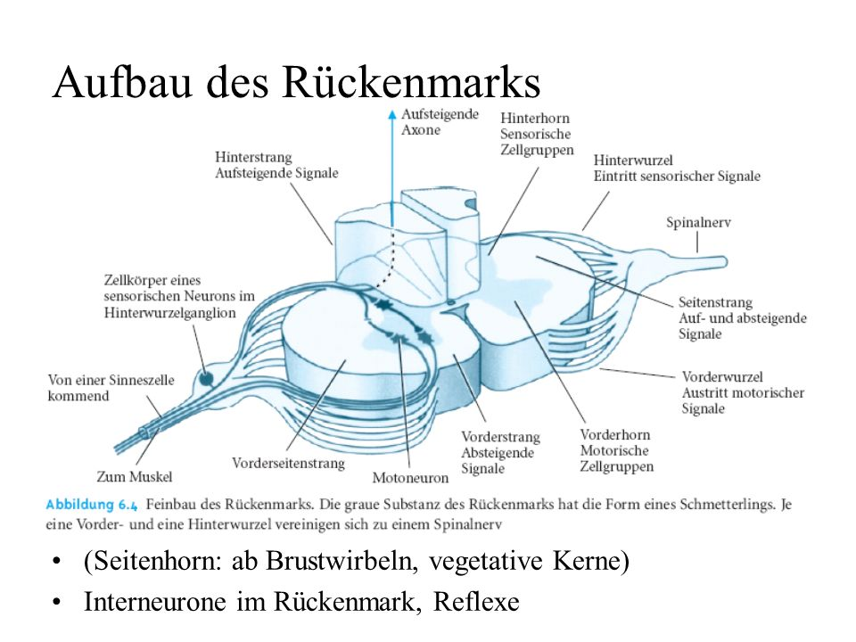 Aufbau des Rückenmarks