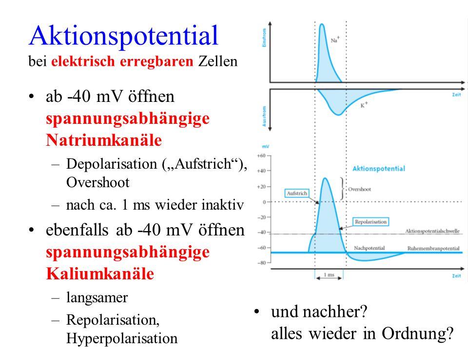 Aktionspotential bei elektrisch erregbaren Zellen