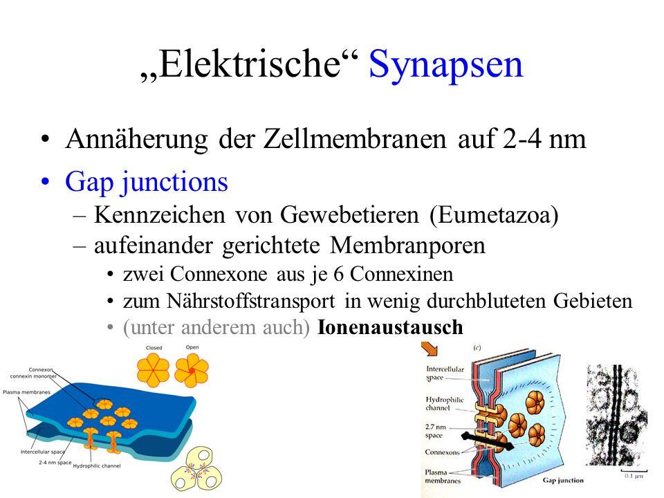 """""""Elektrische Synapsen"""