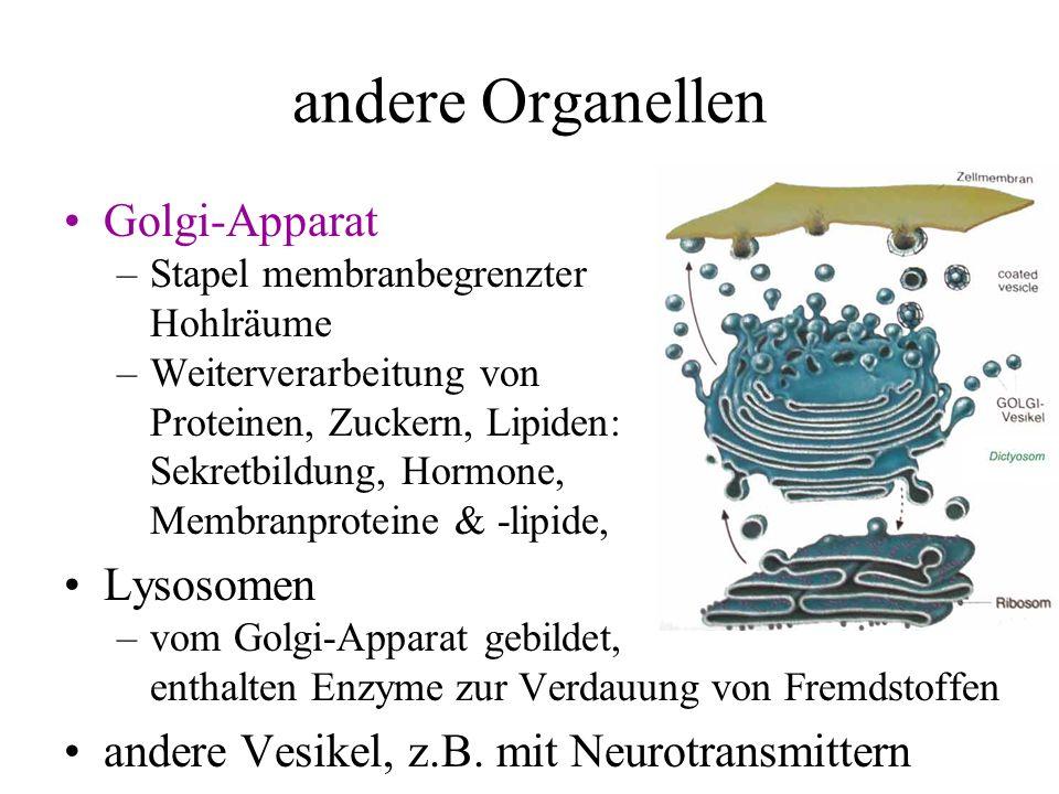 andere Organellen Golgi-Apparat Lysosomen