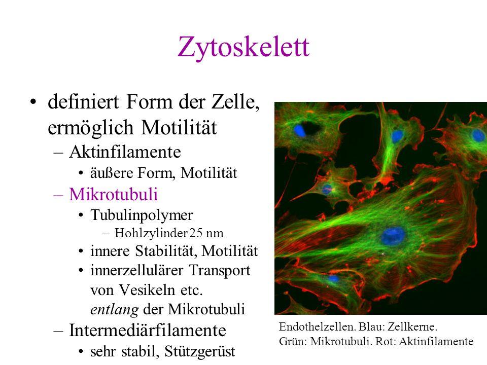 Zytoskelett definiert Form der Zelle, ermöglich Motilität
