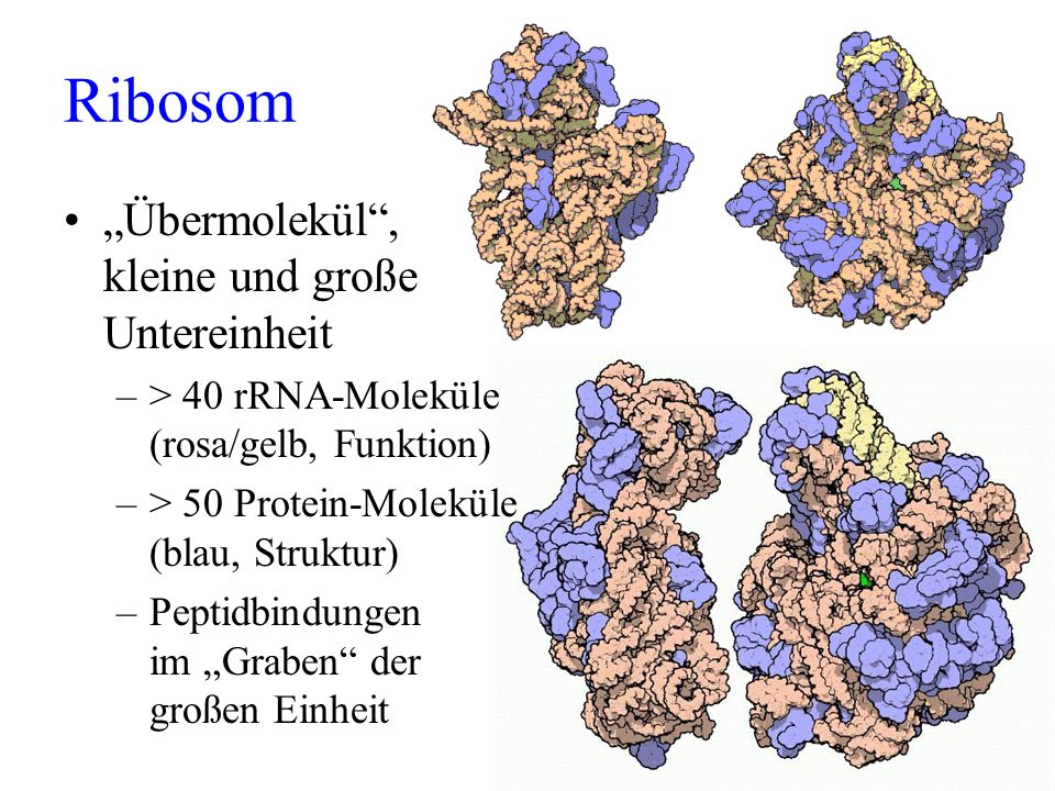"""Ribosom """"Übermolekül , kleine und große Untereinheit"""