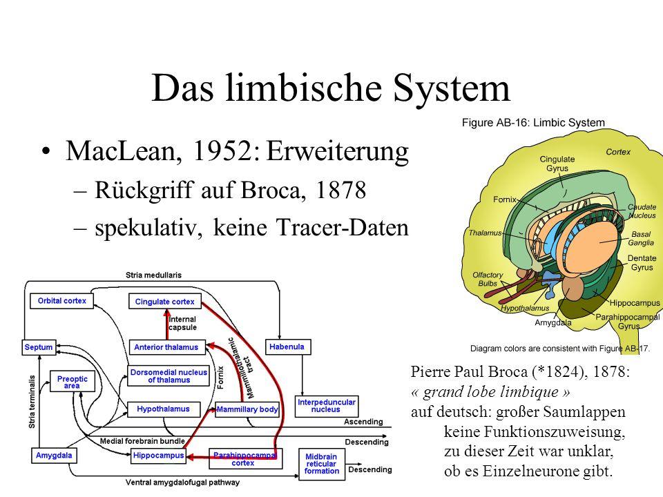 Das limbische System MacLean, 1952: Erweiterung