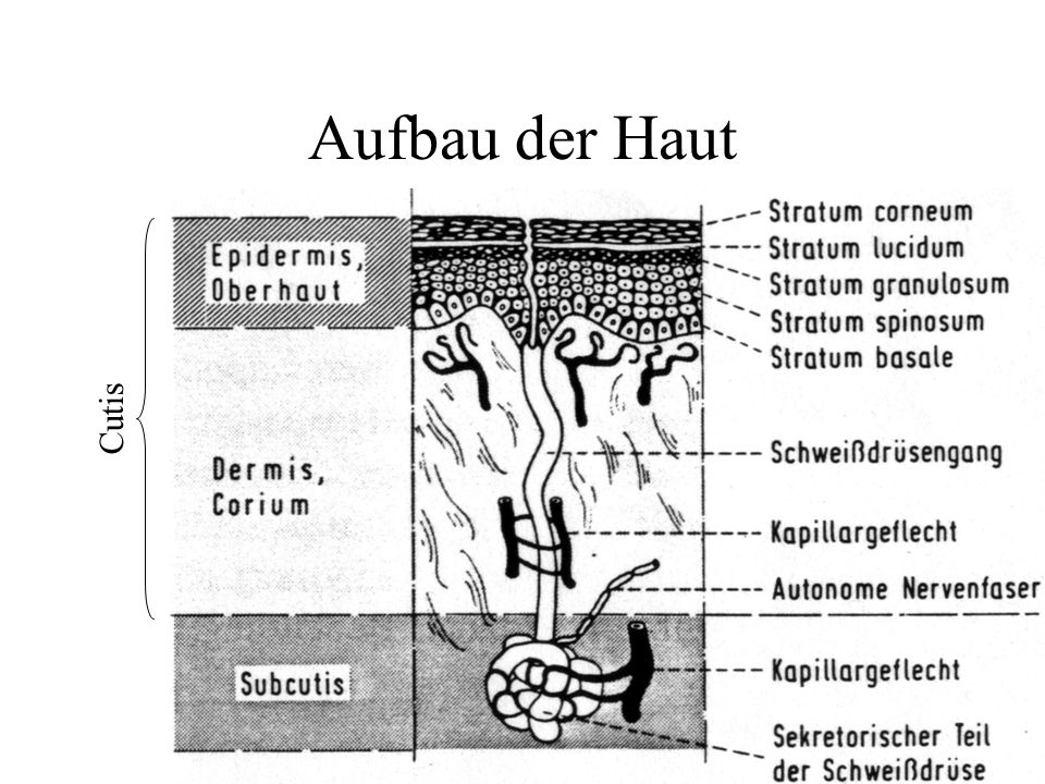 Aufbau der Haut Cutis