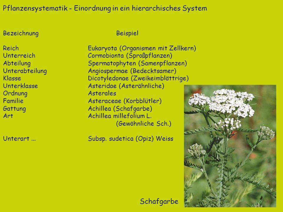 Pflanzensystematik - Einordnung in ein hierarchisches System