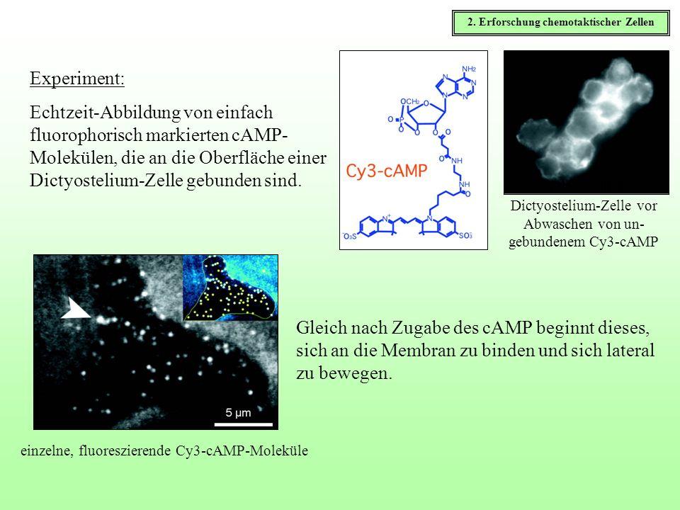 2. Erforschung chemotaktischer Zellen