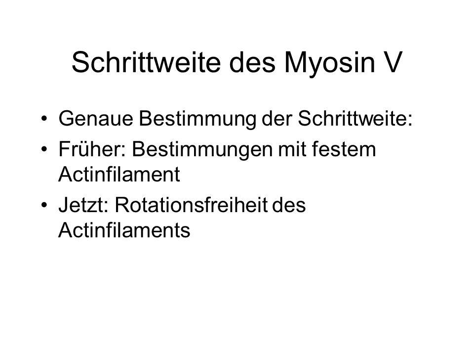 Schrittweite des Myosin V