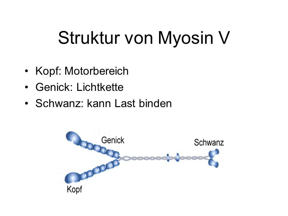Struktur von Myosin V Kopf: Motorbereich Genick: Lichtkette