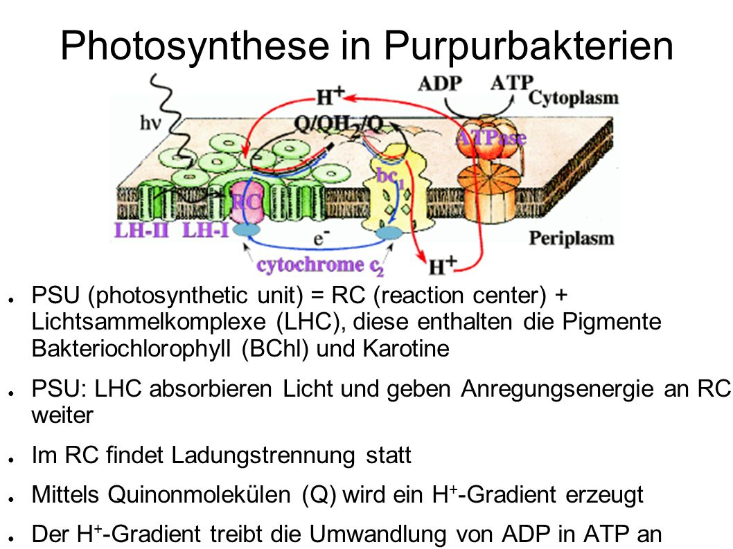 Photosynthese in Purpurbakterien